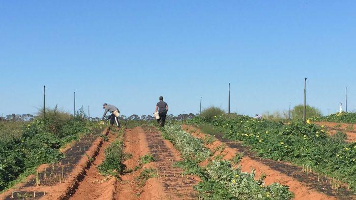 1500 Australians registered for farm work – not one of them got a job